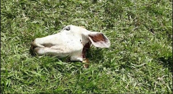 vaca abatida e carne roubada em baixo quartel dengosa radargeral.com